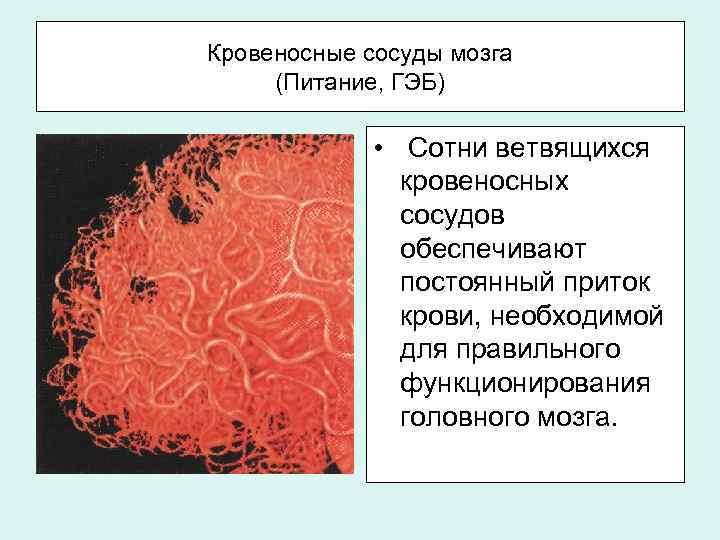 Кровеносные сосуды мозга (Питание, ГЭБ) • Сотни ветвящихся кровеносных сосудов обеспечивают постоянный приток крови,