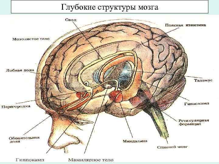 Глубокие структуры мозга