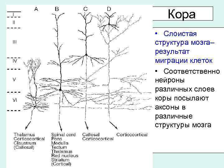 Кора • Слоистая структура мозга– результат миграции клеток • Соответственно нейроны различных слоев коры