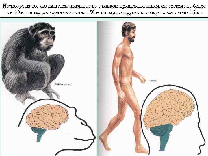 Несмотря на то, что наш мозг выглядит не слишком привлекательным, он состоит из более