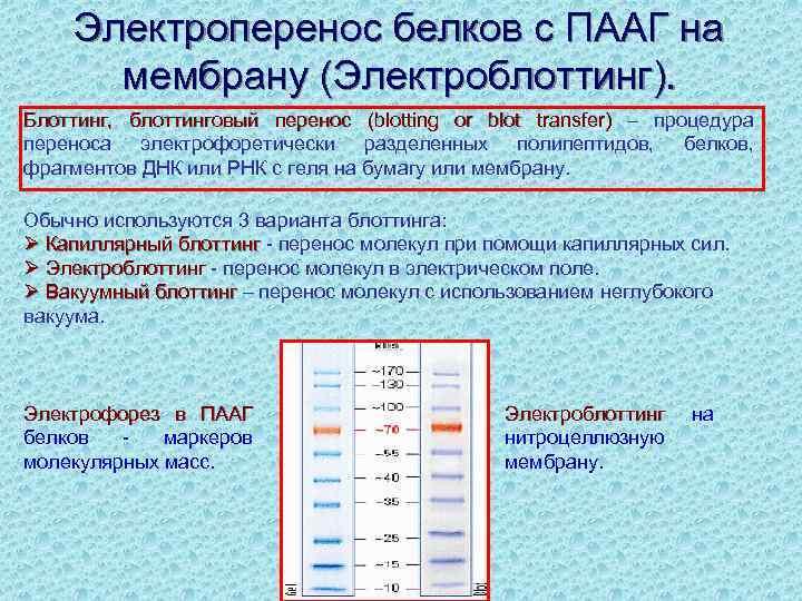 Электроперенос белков с ПААГ на мембрану (Электроблоттинг). Блоттинг, блоттинговый перенос (blotting or blot transfer)