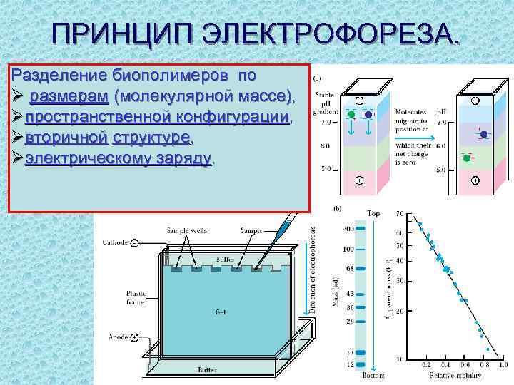 ПРИНЦИП ЭЛЕКТРОФОРЕЗА. Разделение биополимеров по Ø размерам (молекулярной массе), Øпространственной конфигурации, Øвторичной структуре, Øэлектрическому