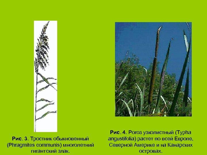 Рис. 3. Тростник обыкновенный (Phragmites communis) многолетний гигантский злак. Рис. 4. Рогоз узколистный (Typha