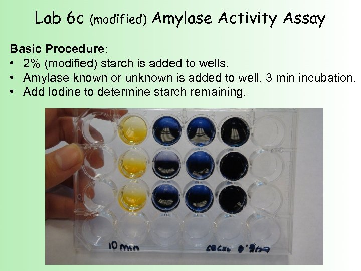Lab 6 c (modified) Amylase Activity Assay Basic Procedure: • 2% (modified) starch is
