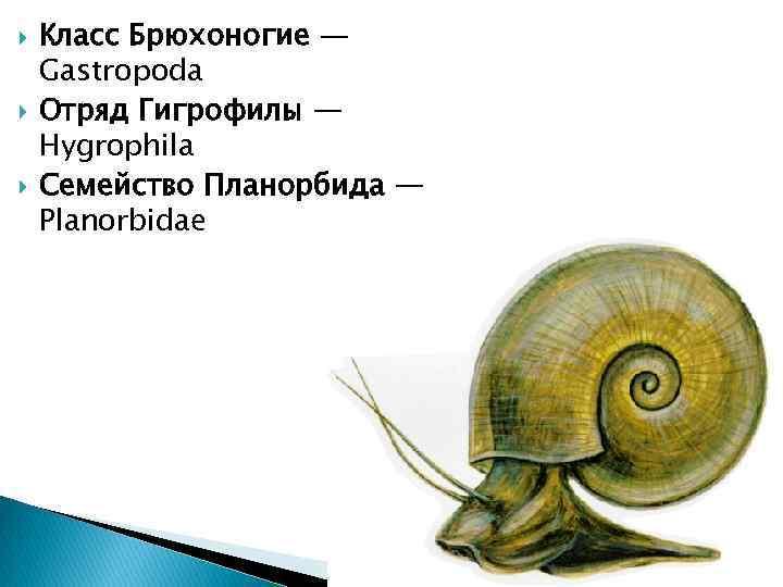 Класс Брюхоногие — Gastropoda Отряд Гигрофилы — Hygrophila Семейство Планорбида — Planorbidae