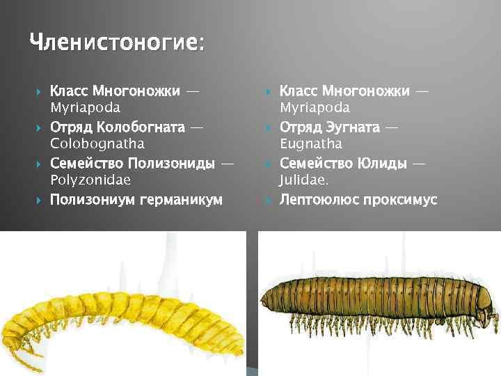Членистоногие: Класс Многоножки — Myriapoda Отряд Колобогната — Colobognatha Семейство Полизониды — Polyzonidae Полизониум