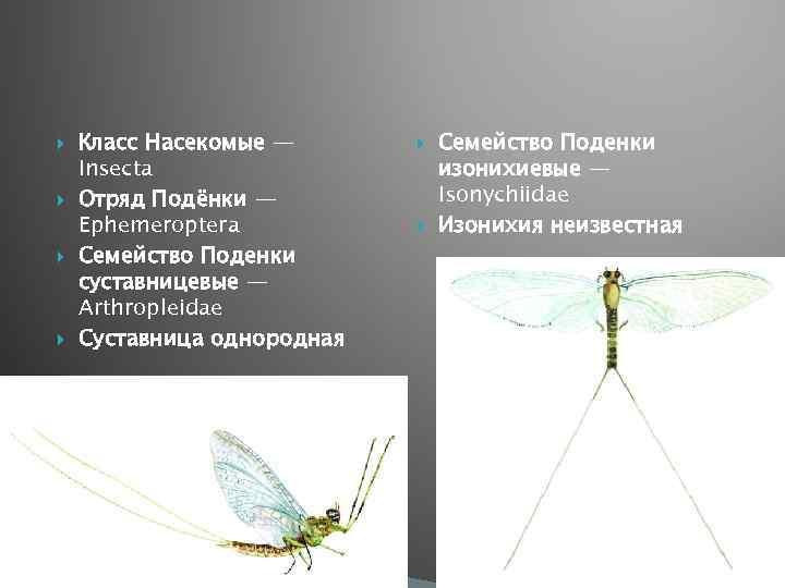 Класс Насекомые — Insecta Отряд Подёнки — Ерhemeroptera Семейство Поденки суcтавницевые — Arthropleidae