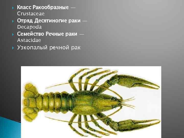 Класс Ракообразные — Crustaceae Отряд Десятиногие раки — Decapoda Семейство Речные раки —