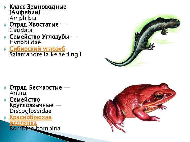 Класс Земноводные (Амфибии) — Amphibia Отряд Хвостатые — Caudata Семейство Углозубы — Hynobiidae
