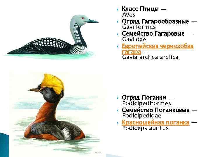 Класс Птицы — Aves Отряд Гагарообразные — Gaviiformes Семейство Гагаровые — Gaviidae Европейская