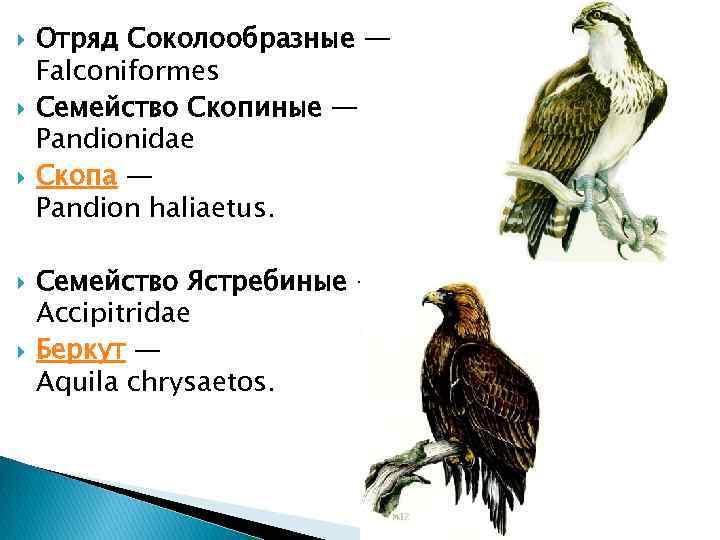 Отряд Соколообразные — Falconiformes Семейство Скопиные — Pandionidae Скопа — Pandion haliaetus. Семейство