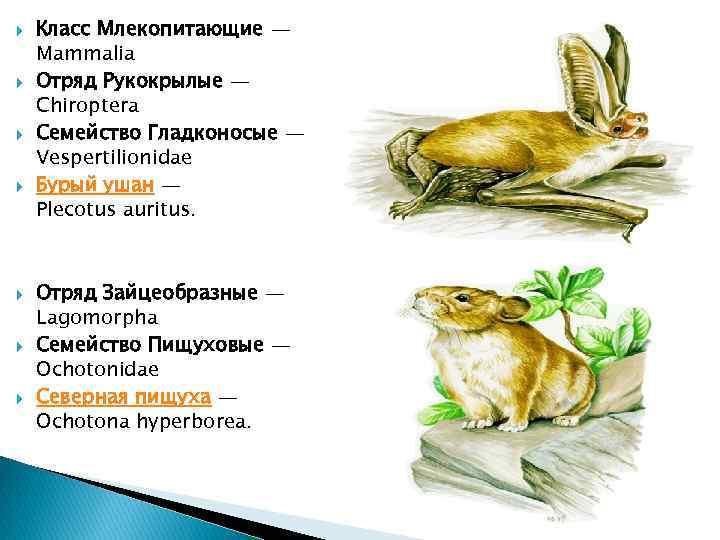 Класс Млекопитающие — Mammalia Отряд Рукокрылые — Chiroptera Семейство Гладконосые — Vespertilionidae Бурый