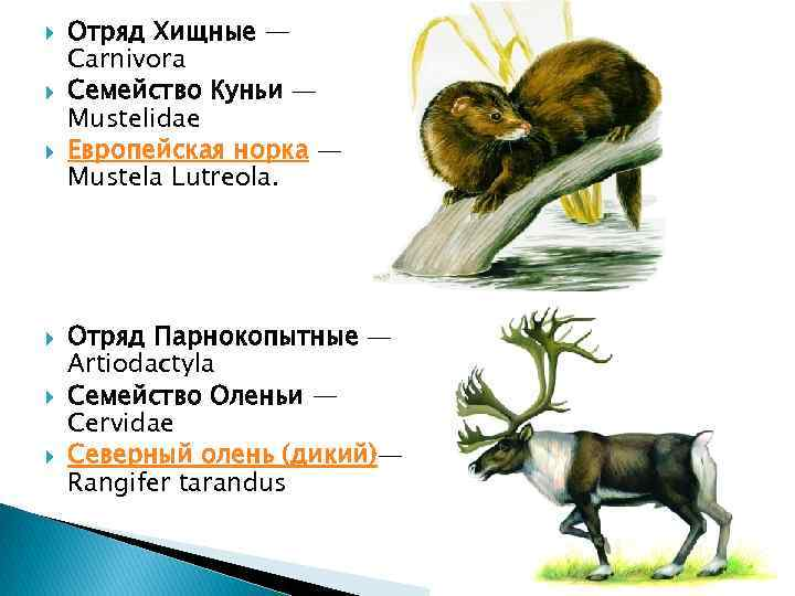 Отряд Хищные — Carnivora Семейство Куньи — Mustelidae Европейская норка — Mustela Lutreola.