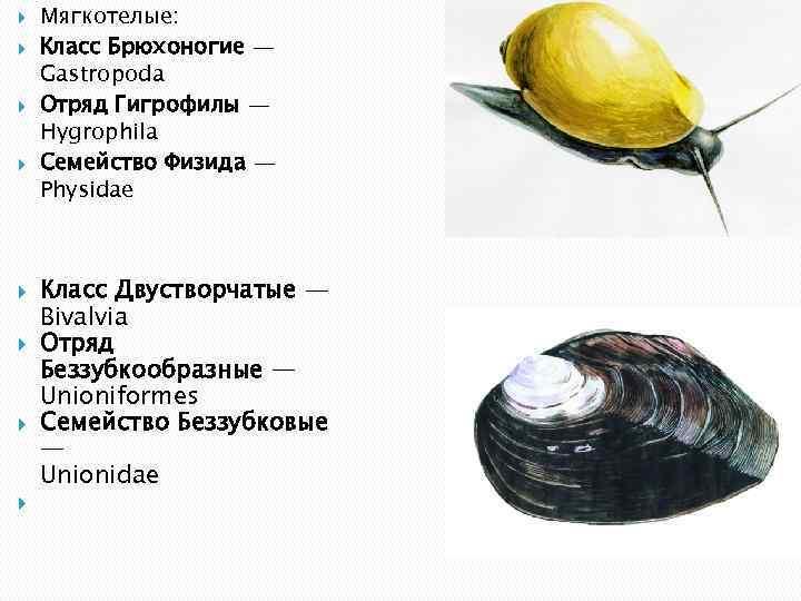 Мягкотелые: Класс Брюхоногие — Gastropoda Отряд Гигрофилы — Hygrophila Семейство Физида — Physidae