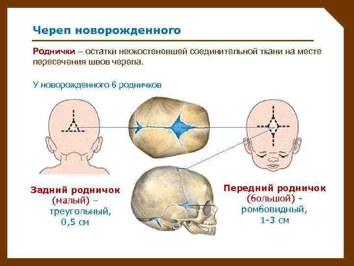 Родничок у новорожденных — это участок соединительной ткани, расположенной в месте соединения трех и больше костей черепа.