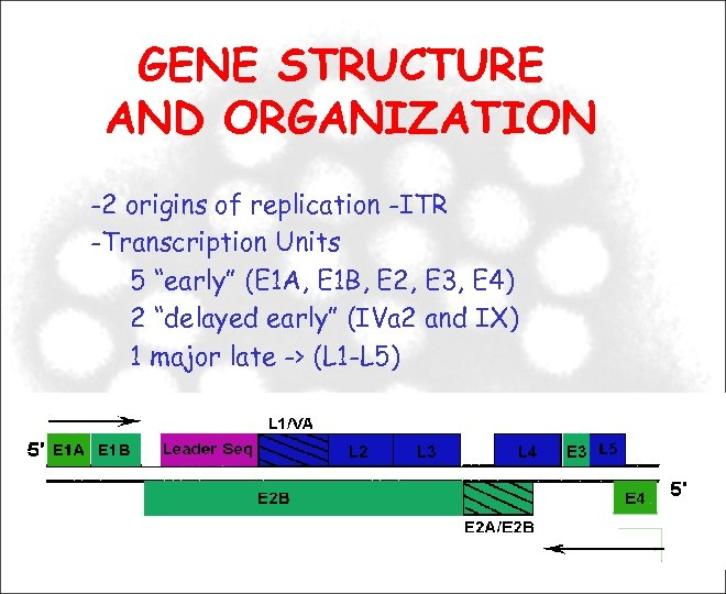 "GENE STRUCTURE AND ORGANIZATION -2 origins of replication -ITR -Transcription Units 5 ""early"" (E"