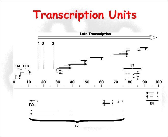 Transcription Units