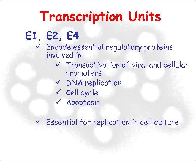 Transcription Units E 1, E 2, E 4 Encode essential regulatory proteins involved in: