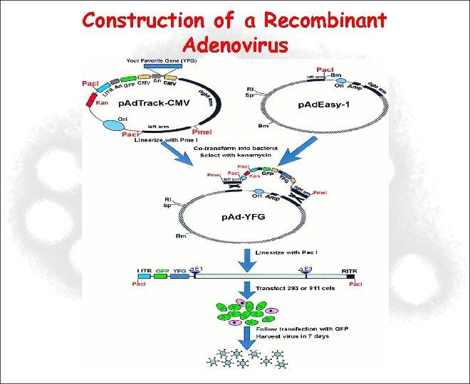 Construction of a Recombinant Adenovirus