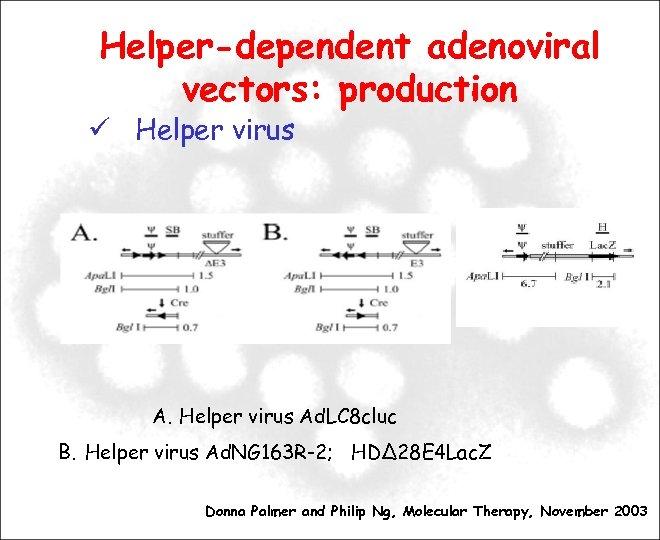 Helper-dependent adenoviral vectors: production Helper virus Ad. LC 8 cluc B. Helper virus Ad.