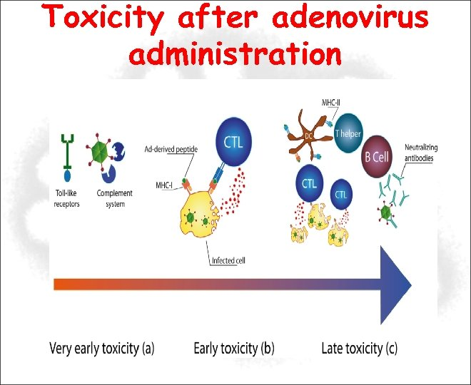 Toxicity after adenovirus administration