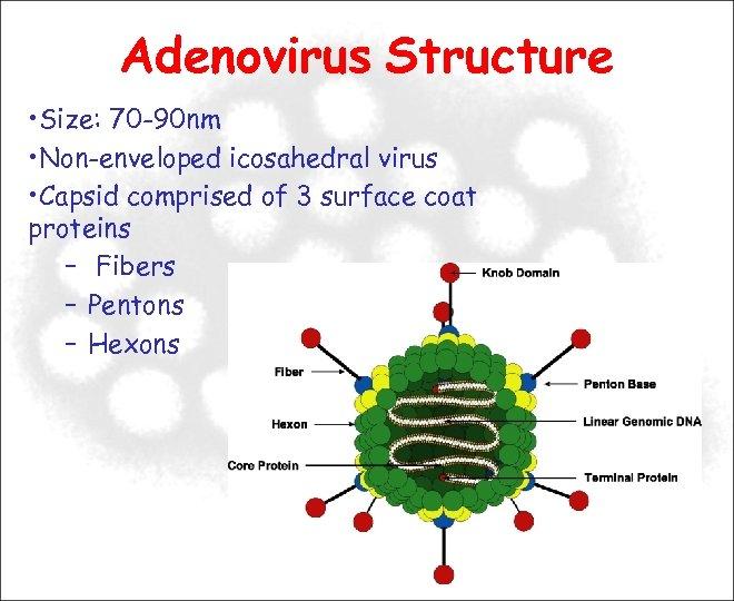 Adenovirus Structure • Size: 70 -90 nm • Non-enveloped icosahedral virus • Capsid comprised