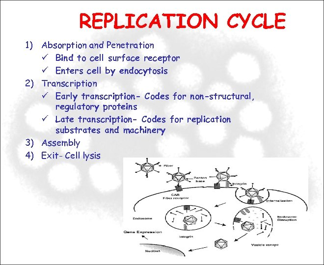 REPLICATION CYCLE 1) Absorption and Penetration Bind to cell surface receptor Enters cell by