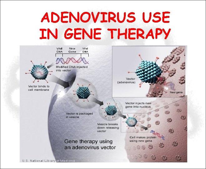 ADENOVIRUS USE IN GENE THERAPY
