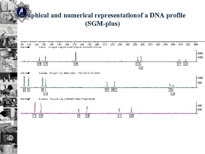 Graphical and numerical representationof a DNA profile (SGM-plus)