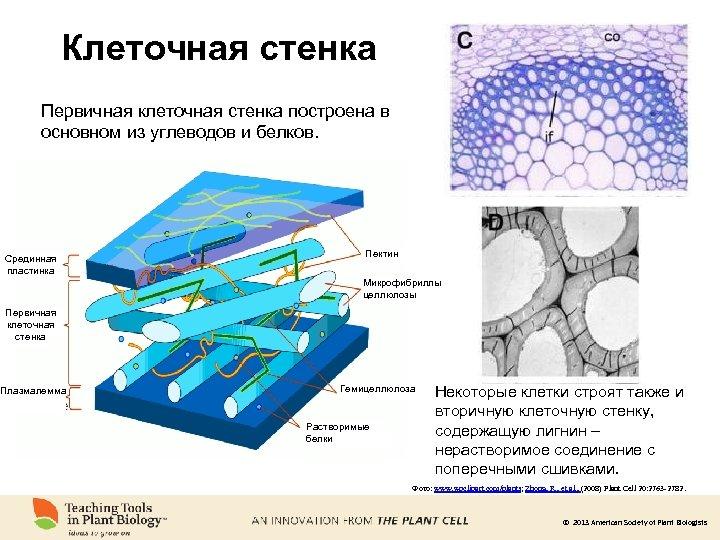 Клеточная стенка в картинках