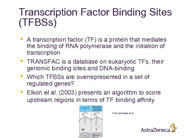 Transcription Factor Binding Sites (TFBSs) • • A transcription factor (TF) is a protein