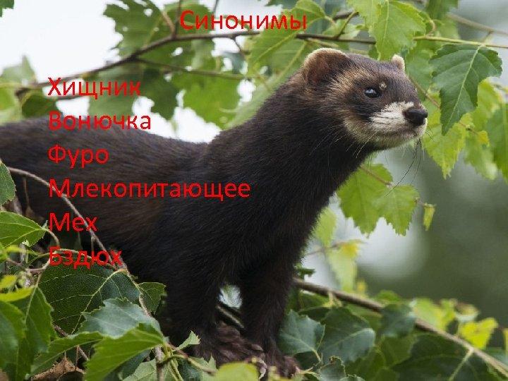 Синонимы Хищник Вонючка Фуро Млекопитающее Мех Бздюх