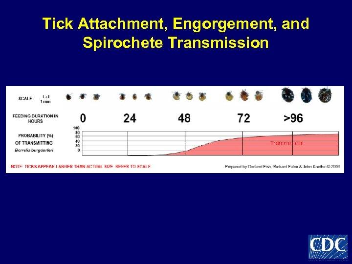 Tick Attachment, Engorgement, and Spirochete Transmission