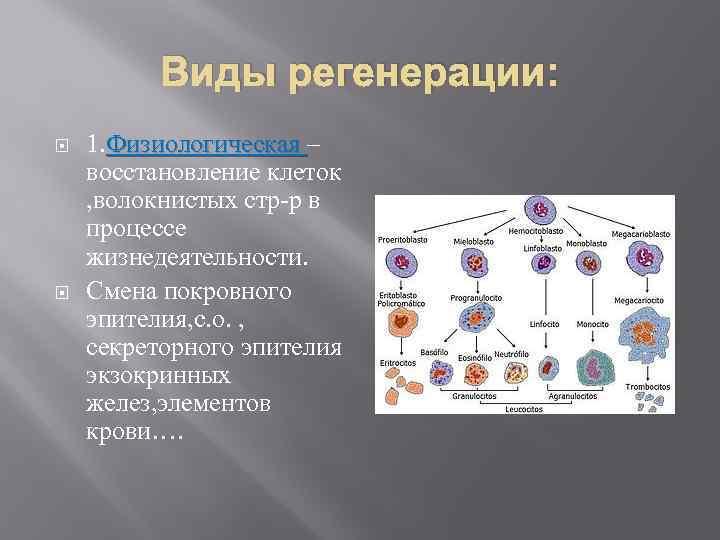 Виды регенерации: 1. Физиологическая – восстановление клеток , волокнистых стр-р в процессе жизнедеятельности. Смена