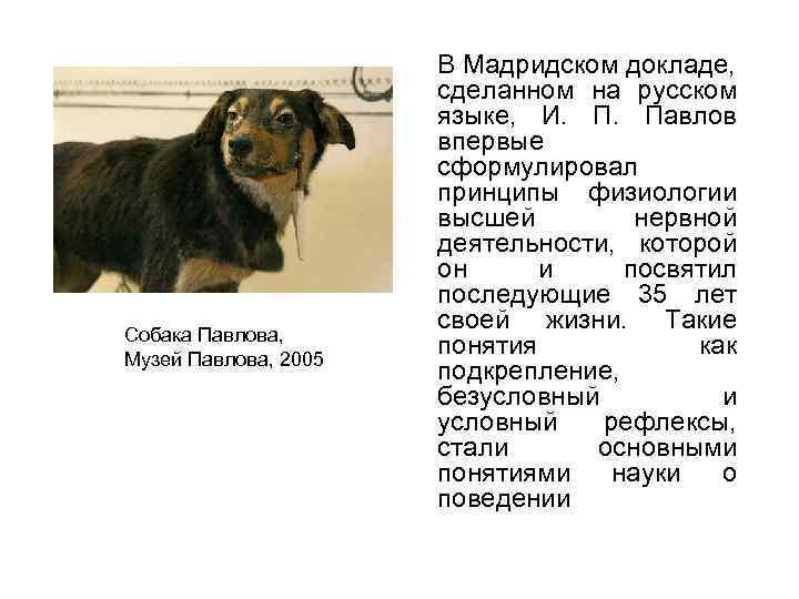 Собака Павлова, Музей Павлова, 2005 В Мадридском докладе, сделанном на русском языке, И. П.