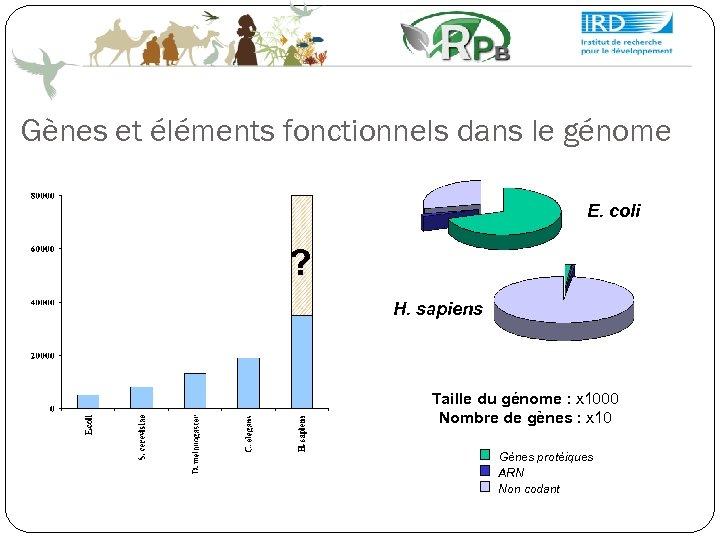 Gènes et éléments fonctionnels dans le génome E. coli ? H. sapiens Taille du