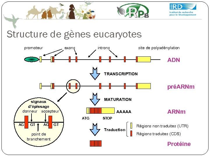 Structure de gènes eucaryotes promoteur exons introns site de polyadénylation ADN TRANSCRIPTION préARNm MATURATION