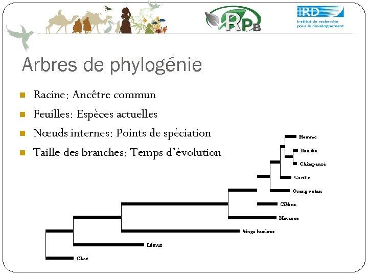 Arbres de phylogénie Racine: Ancêtre commun Feuilles: Espèces actuelles Nœuds internes: Points de spéciation