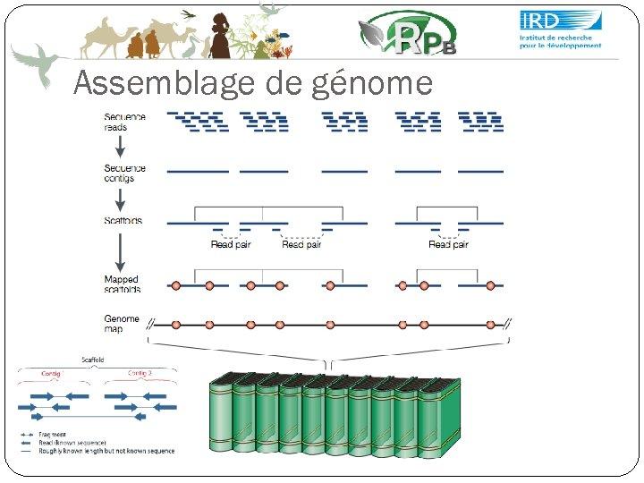 Assemblage de génome