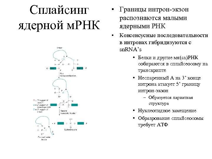Сплайсинг ядерной м. РНК • Границы интрон-экзон распознаются малыми ядерными РНК • Консенсусные последовательности