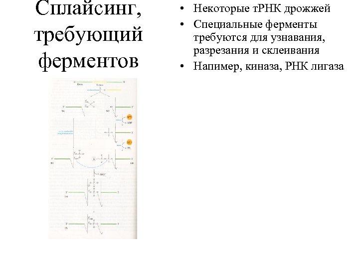Сплайсинг, требующий ферментов • Некоторые т. РНК дрожжей • Специальные ферменты требуются для узнавания,