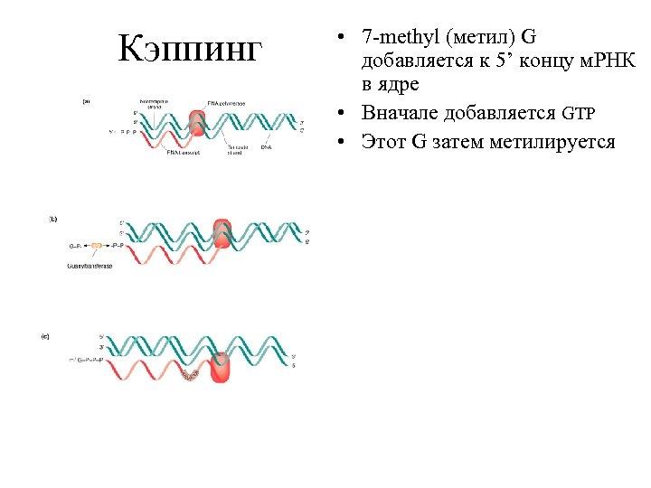 Кэппинг • 7 -methyl (метил) G добавляется к 5' концу м. РНК в ядре