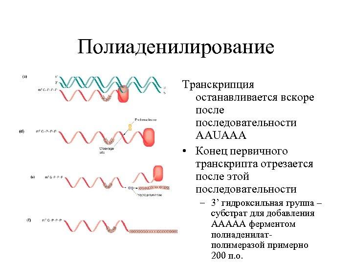 Полиаденилирование Транскрипция останавливается вскоре последовательности AAUAAA • Конец первичного транскрипта отрезается после этой последовательности
