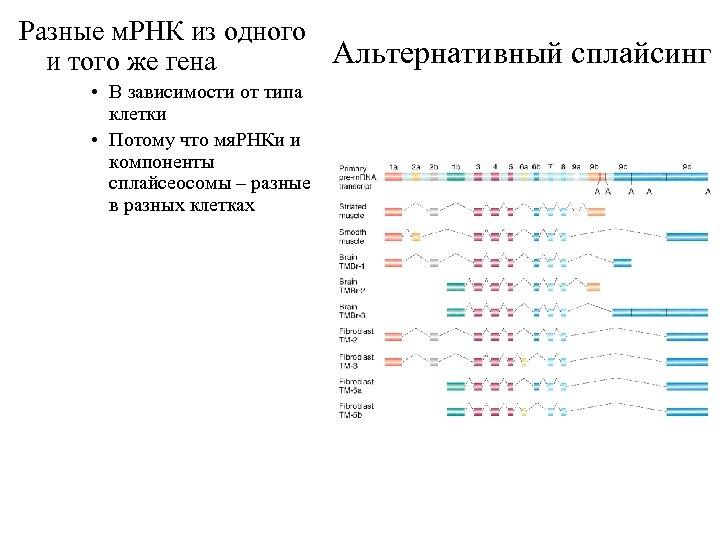 Разные м. РНК из одного Альтернативный сплайсинг и того же гена • В зависимости