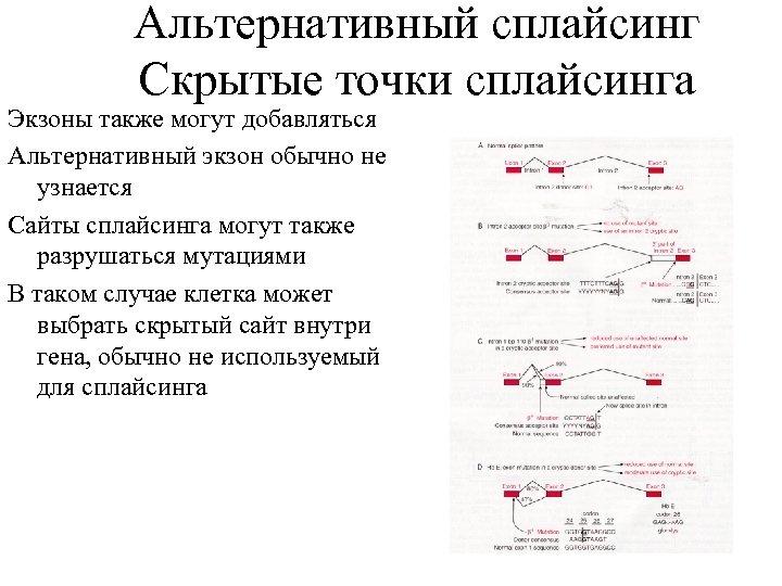 Альтернативный сплайсинг Скрытые точки сплайсинга Экзоны также могут добавляться Альтернативный экзон обычно не узнается