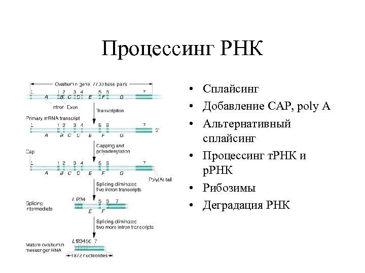 Процессинг РНК • Сплайсинг • Добавление СAP, poly A • Альтернативный сплайсинг • Процессинг