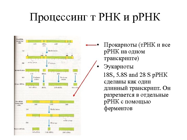 Процессинг т РНК и р. РНК • Прокариоты (т. РНК и все р. РНК