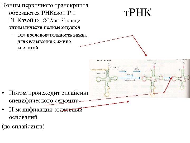 Концы первичного транскрипта обрезаются РНКазой Р и РНКазой D , CCA на 3' конце