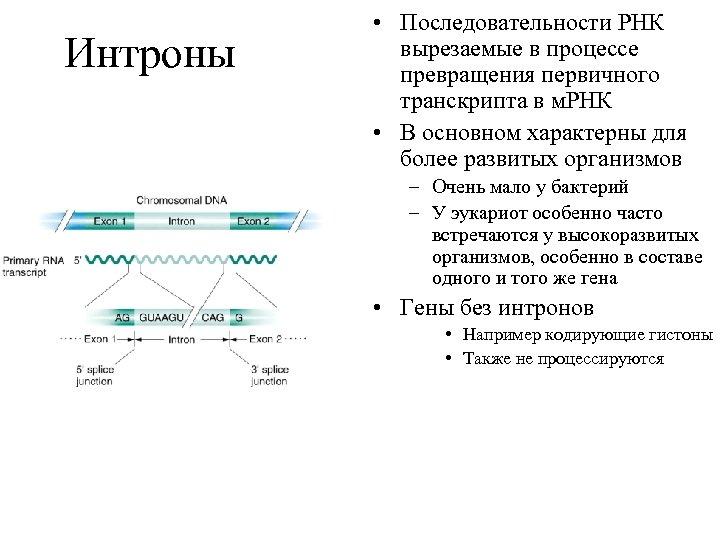 Интроны • Последовательности РНК вырезаемые в процессе превращения первичного транскрипта в м. РНК •