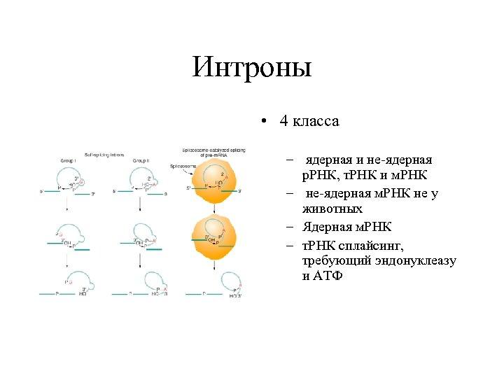 Интроны • 4 класса – ядерная и не-ядерная р. РНК, т. РНК и м.